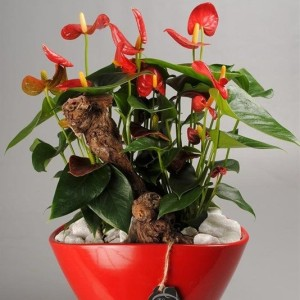 Arrangements Anthurium 'ANCR-1706' (Mixt Creation BV)
