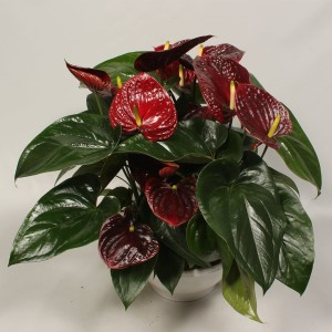 Anthurium 'Flamingo Brown'