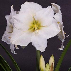 Hippeastrum WHITE STAR (JHL Plants)