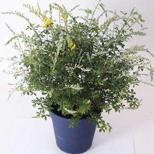 Cytisus racemosus