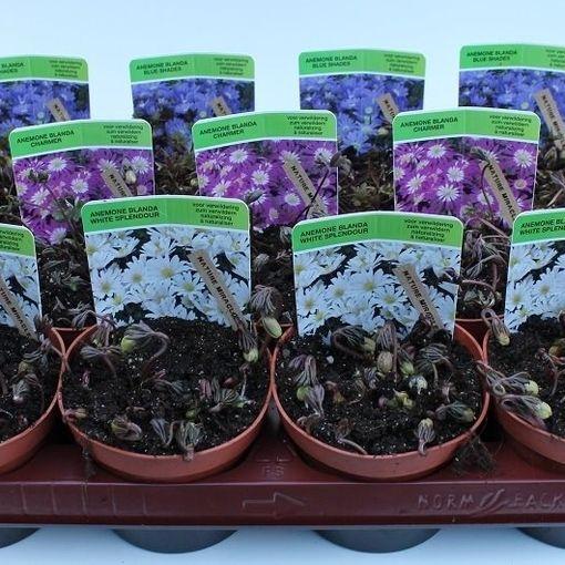 Anemone blanda MIX (Gebr. Straathof)