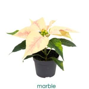 Euphorbia pulcherrima 'Marble'