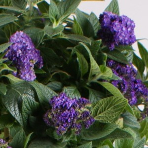 Heliotropium arborescens MARINO BLUE (Gebr. Seuren Rozenkwekerijen BV)