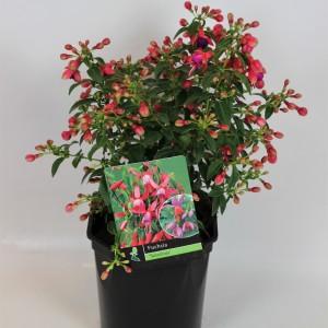 Fuchsia MIX (B.D. Rijnbeek Boomkwekerijen B.V.)