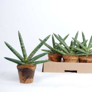 Sansevieria cylindrica 'Skyline' (Van der Arend Tropical Plantcenter)