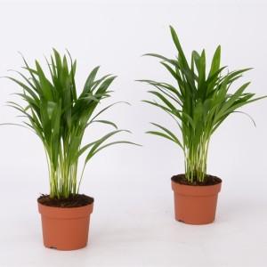 Dypsis lutescens (Bunnik Plants)