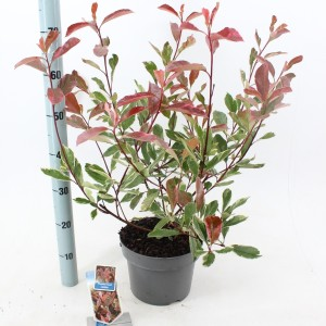 Photinia x fraseri LOUISE
