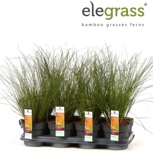 Carex testacea PRAIRIE FIRE COLORGRASS (Hoogeveen Plants)