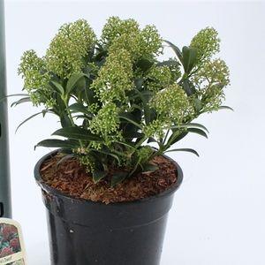 Skimmia japonica 'Godrie's Dwarf' (About Plants Zundert BV)