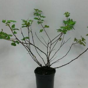 Physocarpus capitatus 'Tilden Park' (WTM de Boer)