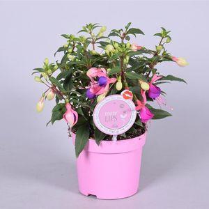 Fuchsia 'Bella Faya'