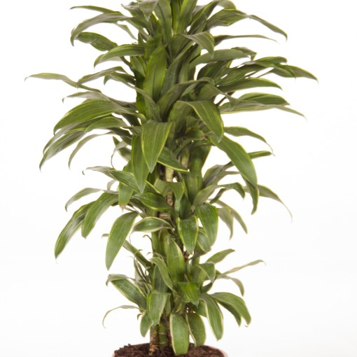 Dracaena fragrans 'Santa Rosa' (Ammerlaan, The Green Innovater)