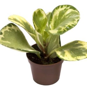 Peperomia obtusifolia 'Green Gold'