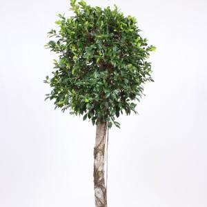 Ficus nitida (Fachjan)