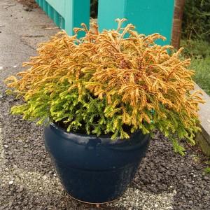 Thuja occidentalis 'Golden Tuffet' (Bremmer Boomkwekerijen)