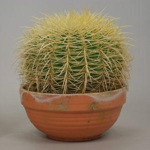 Echinocactus grusonii (Ubink)