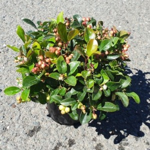 Gaultheria procumbens WINTER PEARLS RED BARON