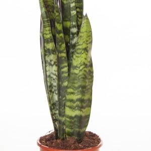 Sansevieria trifasciata 'Black Coral'