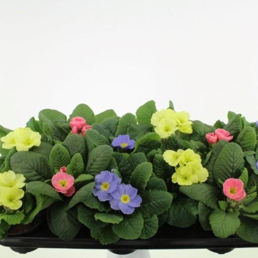 Primula CANDY MIX (Noordpoel, Kwekerij de)