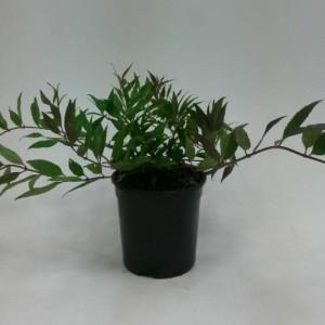 Deutzia gracilis 'Nikko' (WTM de Boer)