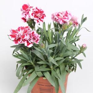 Dianthus OSCAR PURPLE STAR