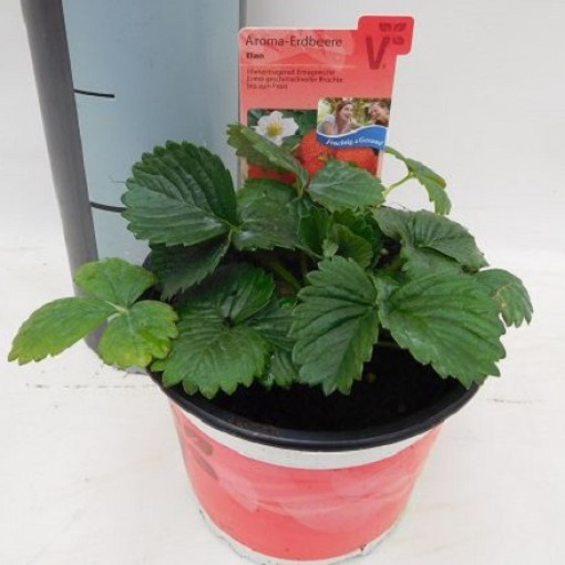 Fragaria x ananassa 'Elan' (Experts in Green)