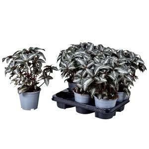 Pilea spruceana 'Silver Tree'