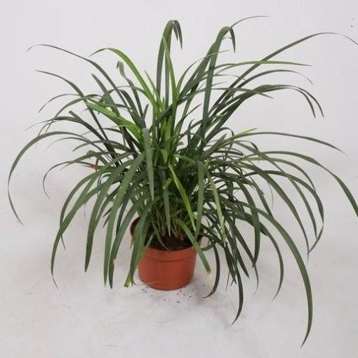 Liriope spicata (Fachjan)