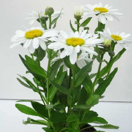Leucanthemum WESTERN STAR LEO (Experts in Green)