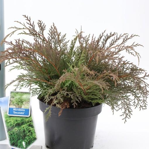Microbiota decussata (About Plants Zundert BV)