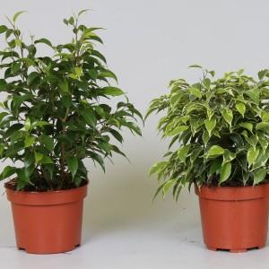 Ficus benjamina MIX