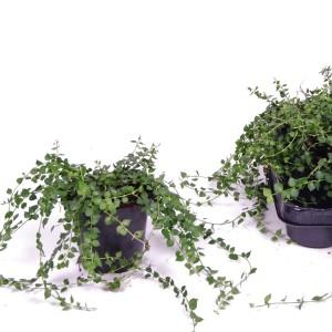 Dischidia ruscifolia (Van der Arend Tropical Plantcenter)