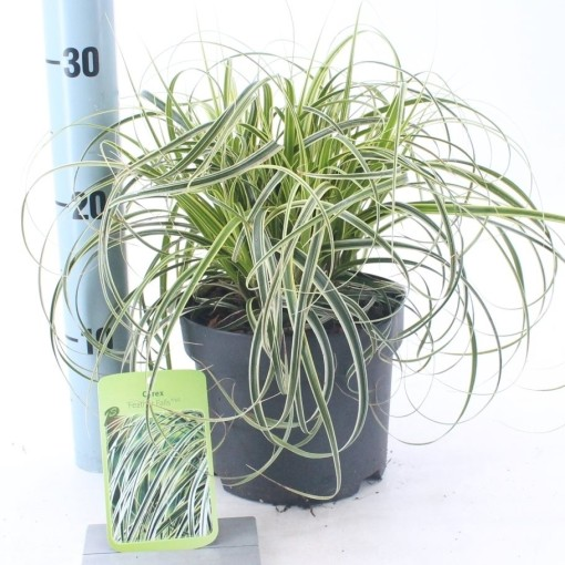 Carex 'Feather Falls' (About Plants Zundert BV)
