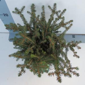 Picea abies 'Nidiformis' (Koekoek Potcultures, de)