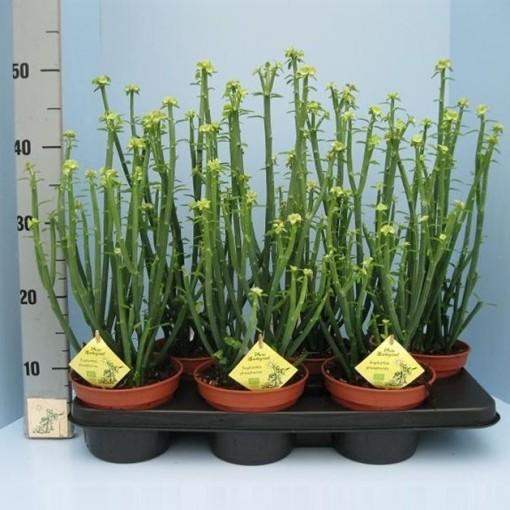 Euphorbia phosphorea (Klein Mexico)
