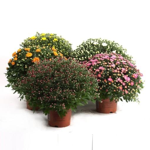 Chrysanthemum MIX (Kwekerij Baas)