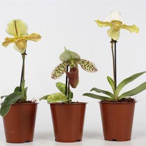Paphiopedilum MIX (Lansbergen Orchideeën)