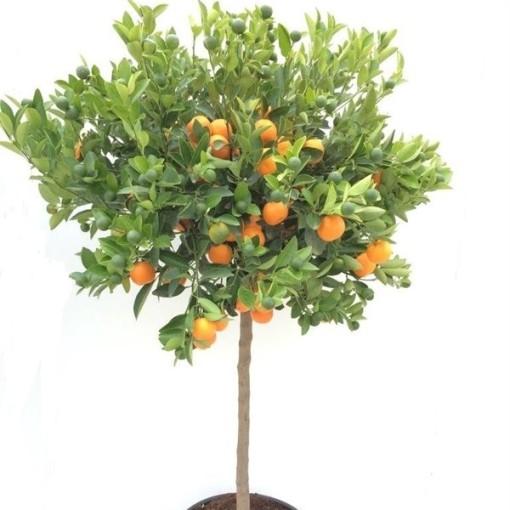 Citrus x microcarpa (RM Plants)