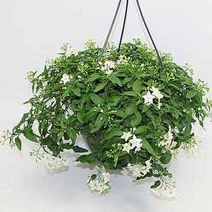 Solanum jasminoides (Gasa DK)