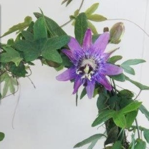 Passiflora 'Lavender Lady' (Plantcare BVBA)
