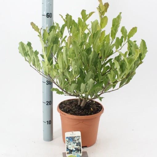 Magnolia stellata (About Plants Zundert BV)