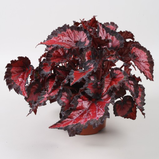 Begonia BELEAF INCA NIGHT (Berghoef Plants)