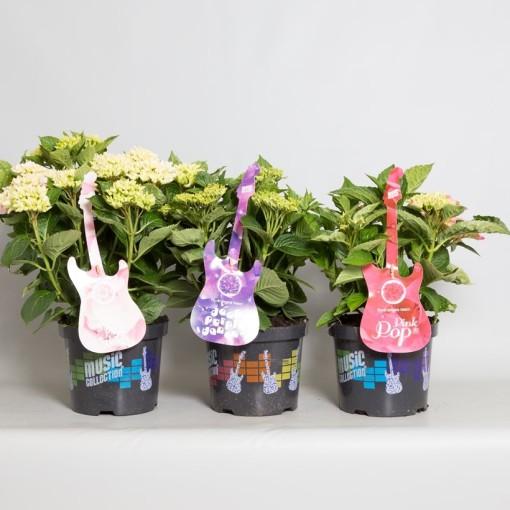 Hydrangea macrophylla MUSIC COLLECTION MIX (De Jong Plant BV)