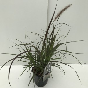 Pennisetum advena 'Metallica'
