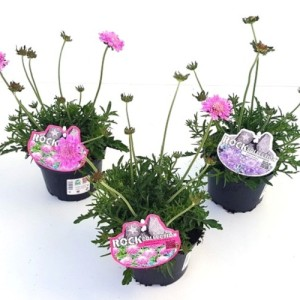 Scabiosa columbaria MIX