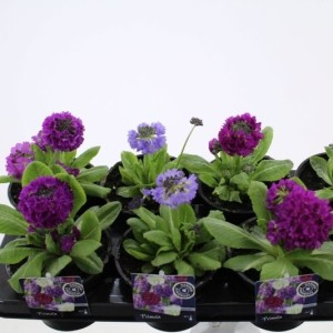 Primula denticulata MIX