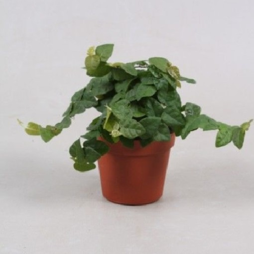 Ficus pumila 'Green Sunny' (Vireõ Plant Sales)