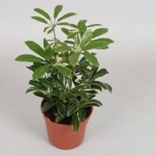 Schefflera arboricola 'Moondrop' (van der Velden, Hkw.)