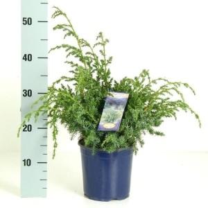 Juniperus chinensis 'Blue Alps' (Kwekerij Vredebest)