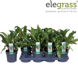 Asplenium scolopendrium (Hoogeveen Plants)